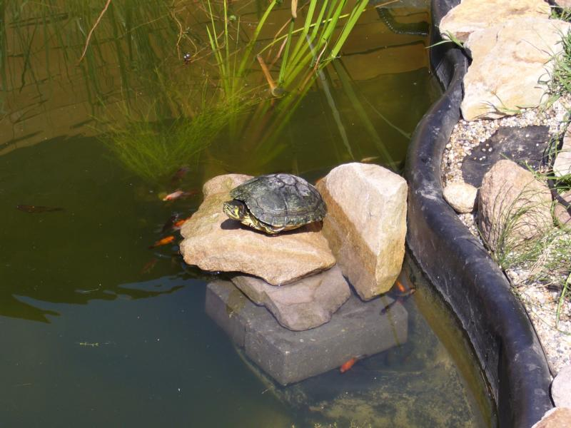 Gelbwangen-Schmuckschildkröte beim Sonnen