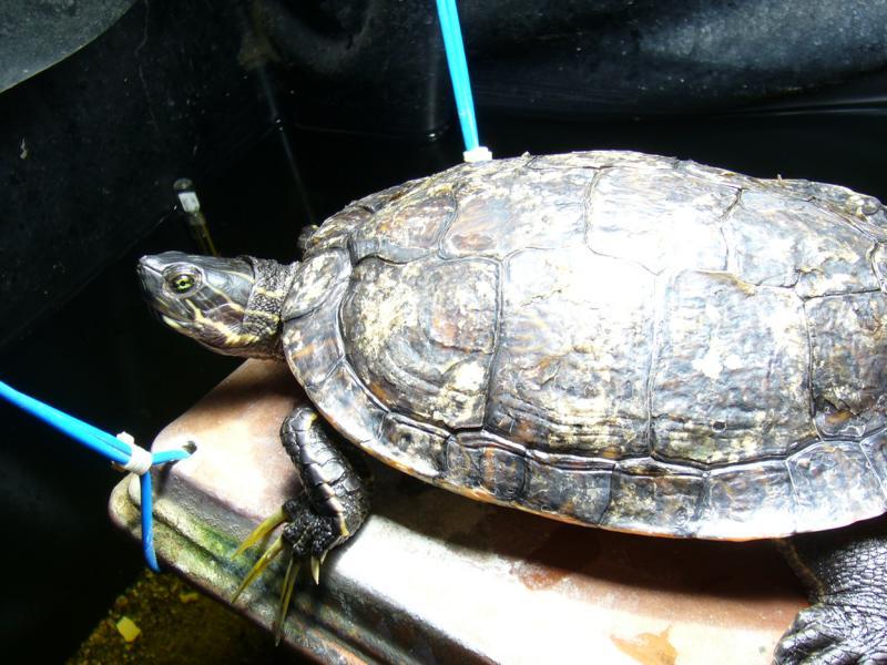 Hieroglyphen-Schmuckschildkröte beim Sonnen